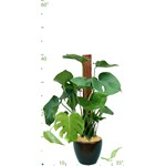 Philodendron Split Leaf