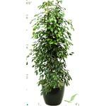 Ficus Benjemina