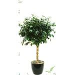 Ficus Braid