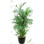Palm Chamadorea