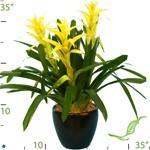 bromiliad species